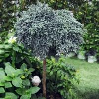 Ялівець лускатий Блю Стар на штамбі<br>Можжевельник чешуйчатый Блю Стар на штамбе<br>Juniperus squamata Blue Star on stambe