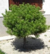 Сосна густоквіткова Аліса Веркаде на штамбі<br>Сосна густоцветная Алиса Веркаде на штамбе<br>Pinus densiflora Alice Verkade on stambe
