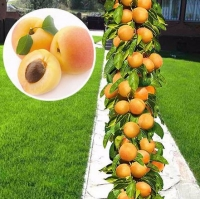 Абрикос колоновидний Принц Март<br>Prunus columnar Prince Mart<br>Абрикос колоновидный Принц Март