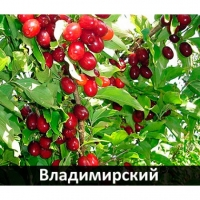 Кизил плодовий Володимирський<br>Cornus mas Volodimirskij<br>Кизил плодовый Владимирский
