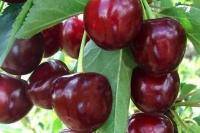 Вишня Тургенівська<br>Prunus Turgenivska<br>Cherry tree Turgenivska<br>Вишня Тургеневская