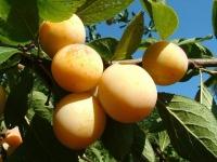 Слива Афаска<br>Prunus Afaska<br>Слива Афаска