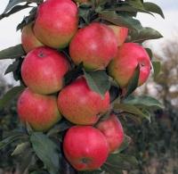 Яблуня колоновидна Валюта<br>Malus Cоlumnar Valyuta<br>Яблоня колоновидная Валюта