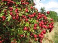 Глід звичайний плодовий<br>Crataegus laevigata<br>Боярышник обыкновенный плодовый