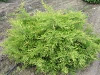 Ялівець середній / пфітцеріана Олд Голд <br> Можжевельник средний / пфицериана Олд Голд <br> Juniperus media / pfitzeriana Old Gold