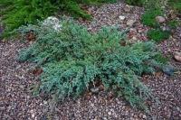 Ялівець лускатий Блю Карпет <br> Можжевельник чешуйчатый Блю Карпет <br> Juniperus squamata Blue Carpet