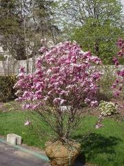 Магнолія гібридна Бетті <br> Магнолия гибридная Бетти <br> Magnolia hibrida Betty / Betti