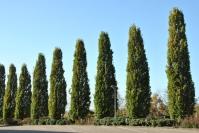 Дуб звичайний черешковий Фастігіата Костер<br>Quercus robur Fastigiata Koster <br>Дуб обыкновенный черешчатый Фастигиата Костер