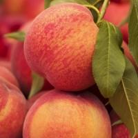 Персик домашній Т-5 Топ Світ (пізній)<br>Персик домашний Т-5 Топ Свит (поздний)<br>Prunus persica Top Sweet