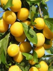 Слива колоновидна Біла Медова (рання)<br>Слива колоновидная Белая Медовая (ранняя)<br>Prunus domestica сolumnar Medova