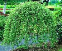 Верба козяча Кілмарнок (плакуча) на штамбі <br> Ива козья Килмарнок (плакучая) на штамбе <br> Salix caprea Kilmarnock (рendula) on shtambe