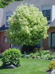 Клен гостролистий Друммонді <br> Клён остролистный Друммонди <br> Acer platanoides Drummondii