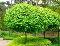 Клен остролистный 'Глобозум' Клен гостролистий 'Глобозум' Acer platanoides 'Globosum'