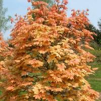 Клен псевдоплатановий Брілліантіссімум<br>Клён ложноплатановый Бриллиантиссимум <br>Acer pseudoplatanus Brilliantissimum