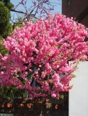 Мигдаль трилопатевий<br>Prunus triloba<br>Миндаль трёхлопастной