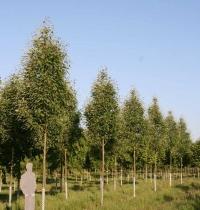 Горобина тюрингська<br>Рябина тюрингская<br>Sorbus thurigiaca