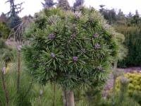 Сосна гірська прищеплена на штамбі<br>Сосна горная привитая на штамбе<br>Pinus mugo