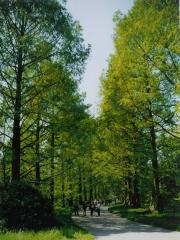Метасеквоя гліптостробусова <br> Метасеквоя глиптостробусовая <br> Metasequoia glyptostroboides