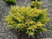 Ялівець горизонтальний Лаймглоу <br> Можжевельник горизонтальный Лаймглоу <br> Juniperus horizontalis Limeglow
