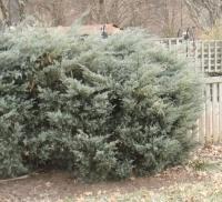 Ялівець віргінський Грей Оул <br> Можжевельник виргинский Грей Оул <br> Juniperus virginiana Grey Owl