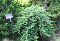 Ялівець береговий Блю Пасіфік <br> Можжевельник прибрежный Блю Пасифик <br> Juniperus conferta Blue Pacific