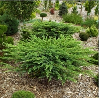 Ялівець береговий Шлягер / Шлагер <br> Можжевельник прибрежный Шлягер / Шлагер <br> Juniperus conferta Schlager