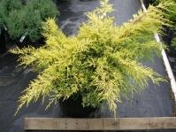 Ялівець середній / пфітцеріана Голд Стар <br> Можжевельник средний / пфитцериана Голд Стар <br> Juniperus media / pfitzeriana Gold Star
