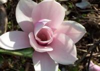 Магнолія Хевен Сцент <br> Магнолия Хевен Сцен <br> Magnolia Heaven Scent