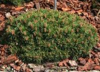 Сосна піренейська <br> Сосна пиренейская <br> Pinus uncinata