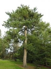 Сосна гімалайська / Гріффіта <br> Сосна гималайская / Гриффита <br> Pinus wallichiana / griffithii