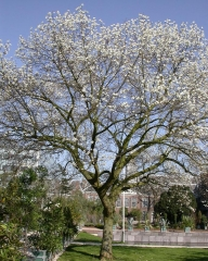 Магнолія кобус <br> Магнолия кобус <br> Magnolia kobus