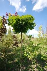 Клен гостролистий кулястий 'Нана'<br>Клён остролистный шаровидный 'Нана' <br>Acer platanoides 'Globosum Nana'