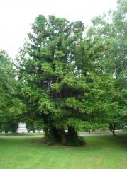 Куннінгамія ланцетовидна <br> Куннингамия ланцетовидная <br> Cunninghamia lanceolata