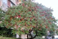 Сумах пухнастий / Оцтове дерево <br> Сумах пушистый Уксусное дерево <br>Rhus typhina