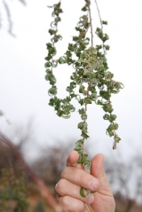 Верба вавілонська Кріспа <br>Ива вавилонская Криспа <br>Salix babylonica Crispa
