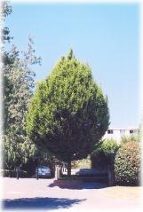 Граб звичайний Колумнаріс<br>Граб обыкновенный Колумнарис <br>Carpinus betulus Columnaris