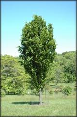 Бук лісовий Девік<br>Бук лесной Дэвик <br>Fagus sylvatica Dawyck