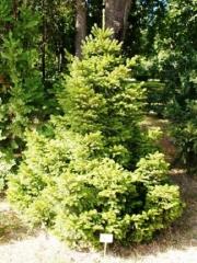 Ялина звичайна Баррі<br>Ельобыкновенная Барри <br>Picea abies Barryi