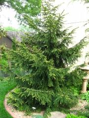 Ялина східна Ауреоспіката / Ауреа<br>Ель восточная Ауреоспиката / Ауреа <br>Picea orientalis Aureospicata / Aurea