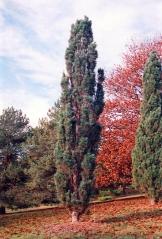 Сосна звичайна Фастігіата<br>Сосна обыкновенная Фастигиата<br>Pinus sylvestris Fastigiata