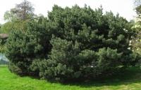 Сосна звичайна Ватерері <br> Сосна обыкновенная Ватерери <br> Pinus sylvestris Watereri