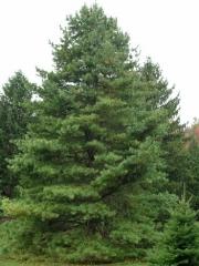 Сосна кедрова корейська <br> Сосна кедровая корейская <br>Pinus koraiensis