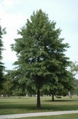 Дуб болотний<br>Quercus palustris<br>Дуб болотный