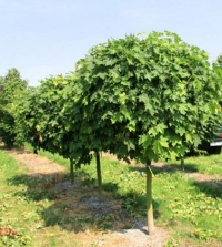 Клен польовий Нанум<br>Acer campestre Nanum<br>Клён полевой Нанум