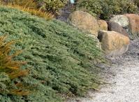 Ялівець лежачий Нана <br> Можжевельник лежачий Нана <br> Juniperus procumbens Nana