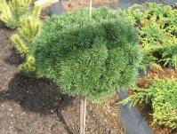 Сосна гірська Літомісл<br>Pinus mugo Litomysl<br>Сосна горная Литомисл