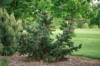 Сосна остиста <br> Сосна остистая <br> Pinus aristata