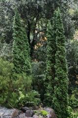 Туя західна Дегрут Спайр <br> Туя западная Дегрут Спайр <br>Thuja occidentalis Degroot Spire