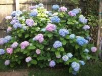 Гортензія крупнолиста Ніко Блю <br> Гортензия крупнолистная Нико Блю <br> Hydrangea macrophylla Nikko Blue
