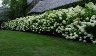 Гортензія волотиста Грандіфлора <br> Гортензия метельчатая Грандифлора <br>Hydrangea paniculata Grandiflora